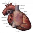 Vista lateral derecha de la anatomía del corazón humano con anotaciones - foto de stock