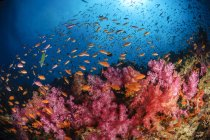 Anthias fish and soft corals — Stock Photo