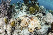 Karibik-Riffkrake auf dem Meeresboden — Stockfoto