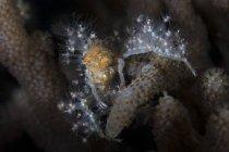 Granchio decoratore ricoperto di polipi viventi — Foto stock