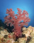 Red soft coral on reef — Stock Photo