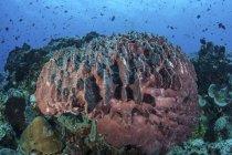 Массивные баррель губки на коралловый риф — стоковое фото