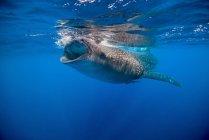 Walhai in Isla Mujeres — Stockfoto