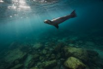 California sea lion in clear water — Stock Photo