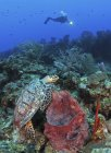 Plongeur et tortue imbriquée — Photo de stock