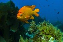 Garibaldi escondido en algas - foto de stock