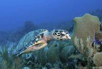 Carey tortuga marina en el arrecife - foto de stock