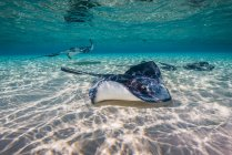 Southern stingrays on sandbar — Stock Photo