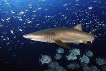 Песчаная тигровая акула в рыбе стаи — стоковое фото
