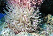 Anémona gigante del mar en el arrecife de Cozumel - foto de stock