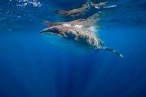 Walhai in der Nähe der Wasseroberfläche — Stockfoto
