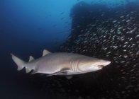 Песок тигровая акула, плавание, крушение — стоковое фото