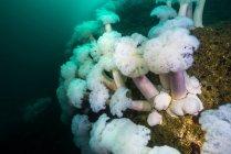 Plumose anemones growing on Mary rock — Stock Photo