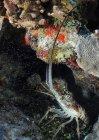 Langosta espinosa del Caribe - foto de stock