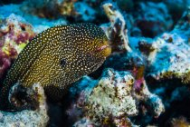 Moray de Whitemouth anguille — Photo de stock
