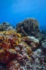 Récif corallien dans l'eau bleue des Caraïbes — Photo de stock