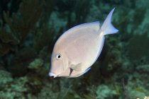 Blue Tang en agua oscura - foto de stock