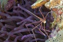 Yellowline Arrow crab with eggs — Stock Photo