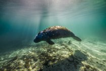 Manatee swimming in Crystal River — Stock Photo