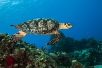 Hawksbill sea turtle swimming over reef — Stock Photo