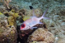 Squirrelfish in Saint Croix — Stockfoto
