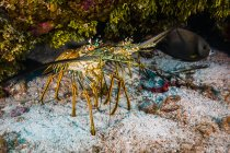 Лангусты под навес в Cozumel — стоковое фото