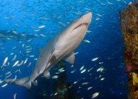Песок тигровые акулы в стадо рыбы — стоковое фото