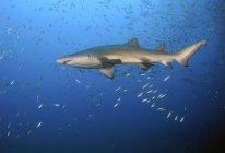 Песок тигровая акула в стадо рыбы — стоковое фото