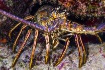Лангуст на острове Большой Кайман — стоковое фото