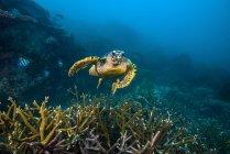 Hawksbille tartaruga marina nuotare sulla barriera corallina — Foto stock
