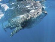 Walhai ernährt sich in der Nähe der Wasseroberfläche — Stockfoto