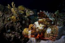 Closeup view of Tasseled scorpionfish on reef — Stock Photo