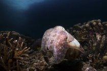 Retrato de una sepia broadclub en arrecife de coral - foto de stock