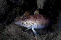 Closeup headshot of spotted hawkfish on reef — Stock Photo
