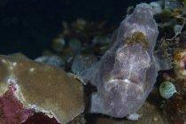 Vista de primer plano del pez rana gris Longlure en el arrecife - foto de stock