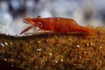 Vista de cerca de los camarones marinos diminutos rojos - foto de stock