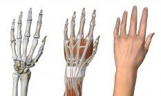Three anatomical dorsal views of female hand — Stock Photo