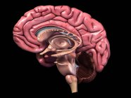 Sección sagital del cerebro humano sobre fondo negro - foto de stock