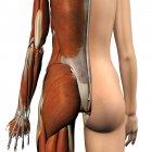 Vista trasera de los músculos femeninos con capa de piel dividida sobre fondo blanco - foto de stock