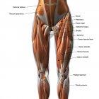 Músculos femeninos de la pierna delantera con etiquetas sobre fondo blanco - foto de stock