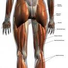 Vista trasera de los músculos de las piernas sobre fondo blanco, con etiquetas - foto de stock