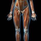 Вид спереди мышц женских ног на черном фоне — стоковое фото
