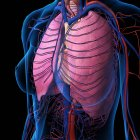 X-ray view of female chest, heart, lungs, arteries and veins on black background — Stock Photo