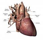 Corazón humano con arterias coronarias y etiquetas - foto de stock