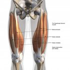 Vista anterior dos músculos quadríceps masculinos, marcados sobre fundo branco — Fotografia de Stock