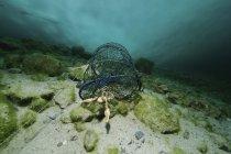 Trampa de pescado con cangrejos de río danubio bajo el hielo - foto de stock