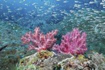 Школа рыб и кораллов, Рождество точки, Симиланские острова, Таиланд — стоковое фото