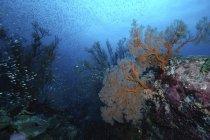 Arrecife de coral duro con escuela de peces, Koh Tachai, Islas Similan, Tailandia - foto de stock