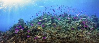 Fusilier fish swimming over reef of Maratua, Indonesia — Stock Photo