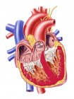 Sección transversal con estructura interna detallada del corazón humano - foto de stock